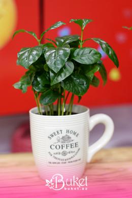 Kofe Ağacı