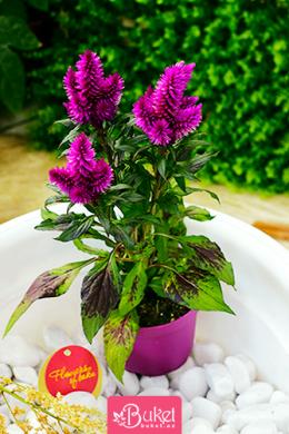 Seloziya Bitkisi